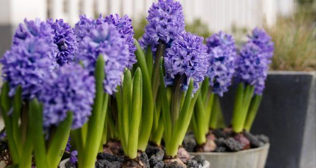 цветы из луковиц