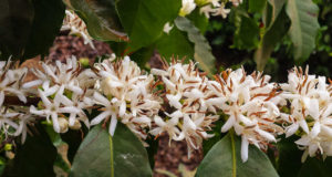 Цветок Кофейное Дерево